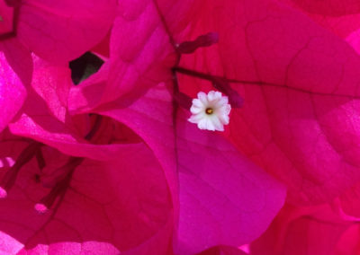Bouganvilla close up